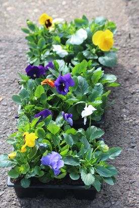 Spring Pansy pack of 6. Mixed colours