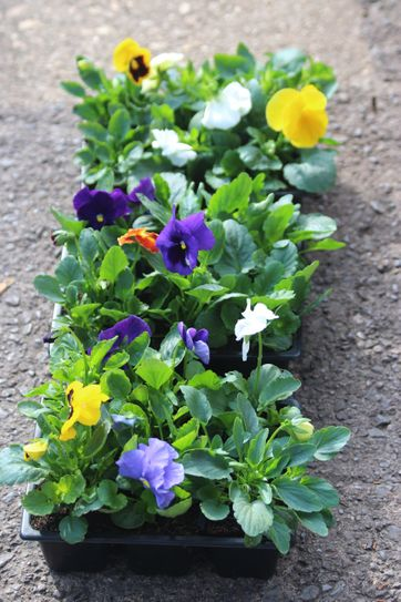 Winter Pansy pack of 6. Mixed colours