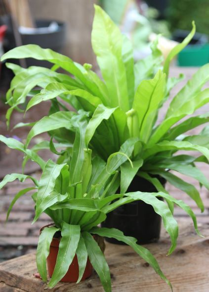 Birds Nest fern Asplenium antiquum